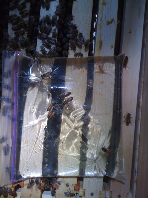 Bees feeding from the slit in the Ziplock bag