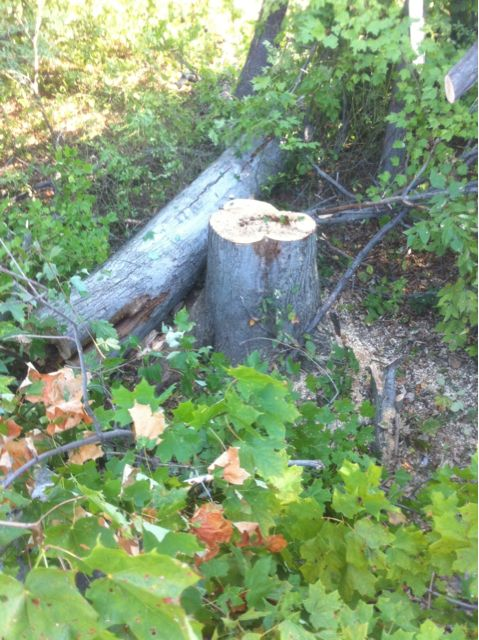 Bee tree cut at the base of the bee nest
