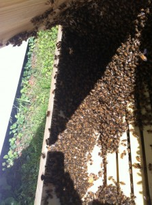 Amy's bees in their new hive