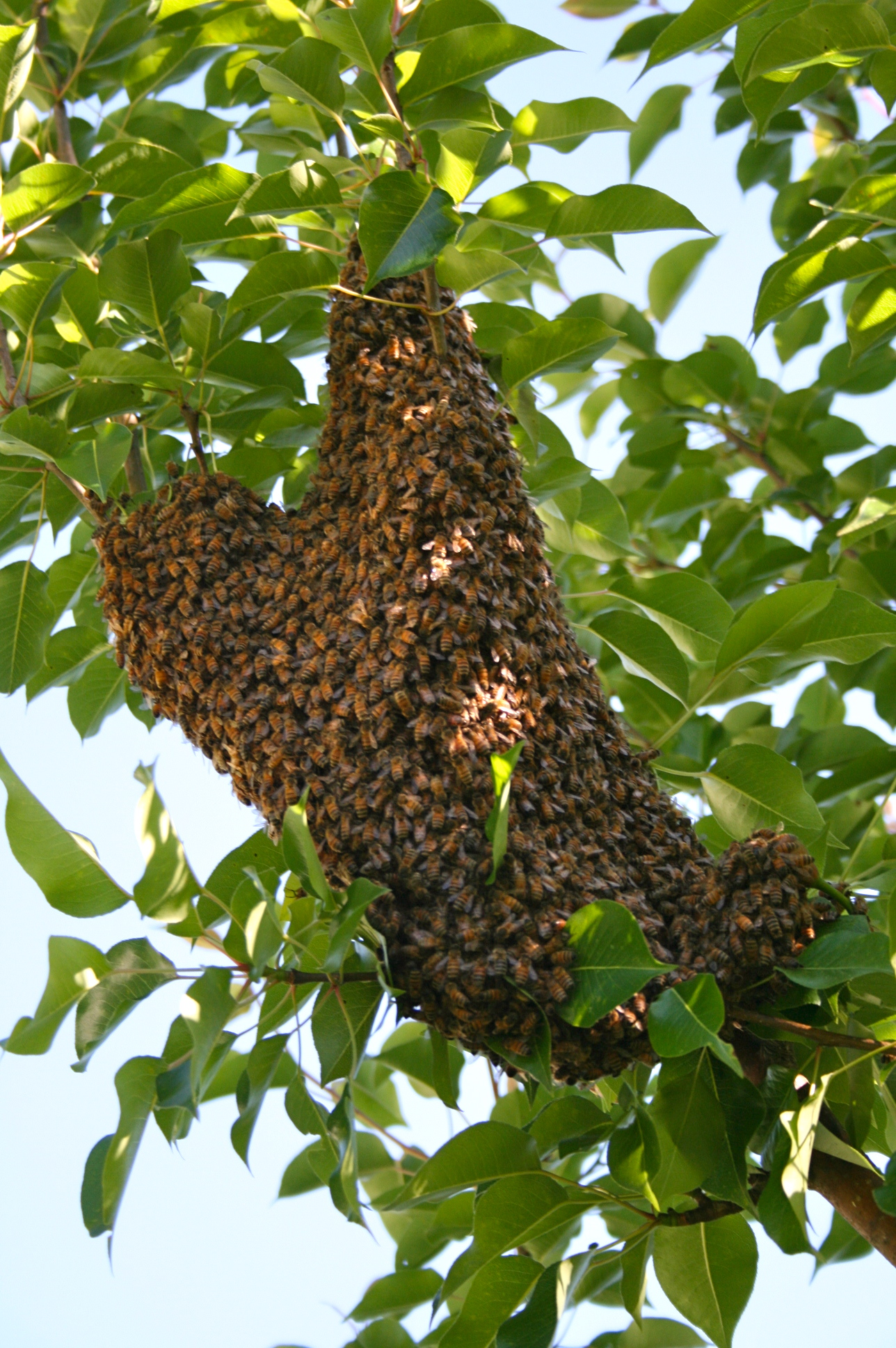 Swarm in a pear tree