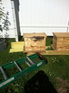 Amy's swarm on the ladder and in its hive
