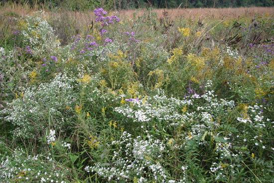 Autumn prairie flowers: goldenrod and aster