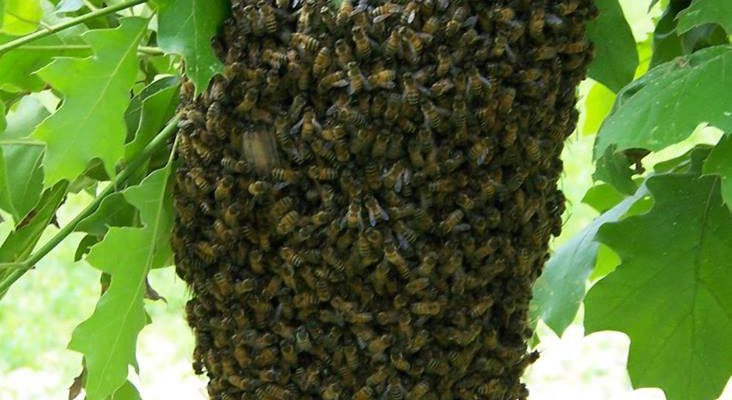 Cincinnati swarm